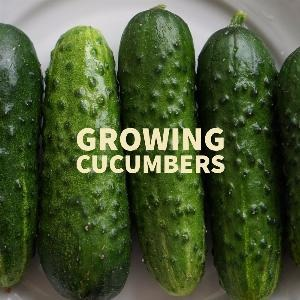Let's talk for a minute about growing cucumbers. .