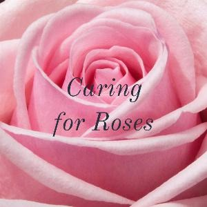 Let's talk for a minute about caring for roses. .