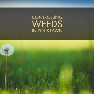 Let's talk for a minute about controlling weeds in your lawn. . .