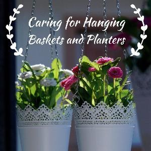 Let's talk for a minute about caring for hanging baskets and planters. . .