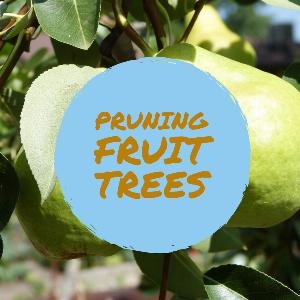 Let's talk for a minute about pruning fruit trees . . .