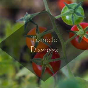 Let's talk for a minute about tomato diseases. . .